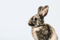Profile of Rabbit Royalty Free Stock Image