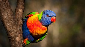 3/4 profile of a rainbow lorikeet clinging to the side of a tree. 3/4 profile of a rainbow lorikeet ready to take flight, with its eye on its target Royalty Free Stock Photography