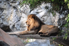 Profile of a ralaxed lion. In a zoo Stock Photo