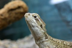 A profile of a rankin`s dragon lizard royalty free stock images