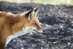 Profile of red fox close up Royalty Free Stock Images