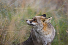Profile Red fox Stock Images