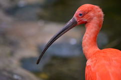 Profile of red ibis Stock Image