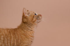 Profile of a red kitten. On a beige background Stock Photography