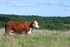 Profile of red polled hereford cow Stock Photos