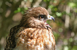 Profile of a Red Shouldered Hawk Raptor Royalty Free Stock Photo