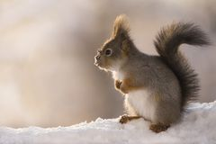 Profile of red squirrel in the snow Stock Photos