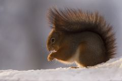 Profile of a red squirrel in the snow Royalty Free Stock Photos