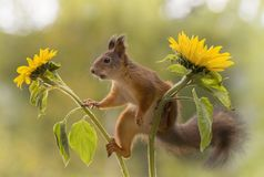 Profile of red squirrel in between sunflowers Stock Photo