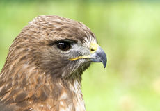 Profile of a Red-Tail Hawk (Buteo jamaicensis). Profile of a young Red-Tail hawk Royalty Free Stock Photography