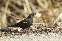 Profile of Red winged blackbird. Stock Photos