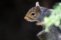 Profile of a Resting Squirrel Stock Images