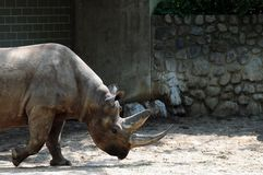 Profile of rhinoceros Stock Photography