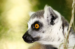 Profile of a ringtailed lemur. A photo in profile of the head of a ringtailed lemur Royalty Free Stock Photo