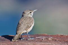Profile of a Rock Wren Royalty Free Stock Photo
