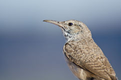 Profile of a Rock Wren Royalty Free Stock Image