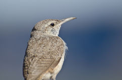Profile of a Rock Wren Stock Image
