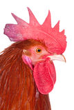 Profile of a rooster Stock Photography