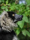 Profile of the ruffed lemur Royalty Free Stock Image