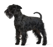 Profile of Schnauzer, standing Royalty Free Stock Photo