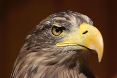 Profile of a sea eagle (Haliaeetus albicilla) Royalty Free Stock Photo