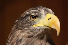 Profile of a sea eagle (Haliaeetus albicilla) Royalty Free Stock Photo