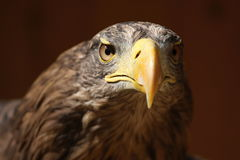 Profile of a sea eagle (Haliaeetus albicilla) Stock Image