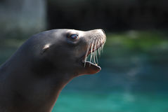 Profile of a Sea Lion With His Mouth Open Royalty Free Stock Image