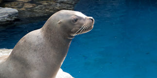 Profile of a Sea Lion. A Sea Lion looks into the distance Stock Photography