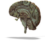 Profile / section of a human brain Royalty Free Stock Photography
