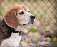 Profile of senior beagle dog looking forward in front of fence Royalty Free Stock Photography