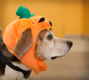 Profile of senior beagle dog wearing Halloween pumpkin costume Royalty Free Stock Photo