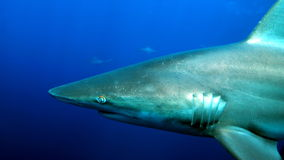 Profile of shark's head. Profile perspective of shark's head and it's gill slits Royalty Free Stock Images