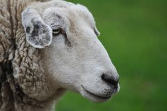 Profile of sheep on green blurred background royalty free stock image