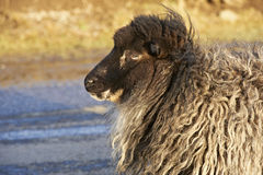 Profile of sheep on a windy day. Sheep in the Faroe Islands Stock Photo