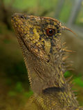 Profile shot of a bearded dragon (Pogona). Portrait shot of a bearded dragon (Pogona Stock Photos