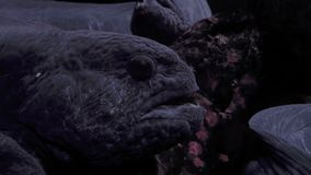 Profile shot of a wolf eel. stock video footage