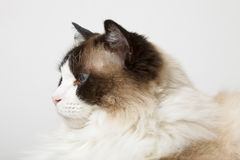 Profile of Siamese Ragdoll Cat Stock Images