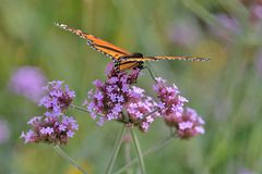 Profile of single monarch butterfly on verbena stalks Royalty Free Stock Image