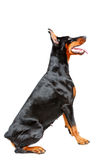 Profile of sitting doberman pinscher Royalty Free Stock Photography