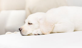 Profile of sleeping puppy royalty free stock photos