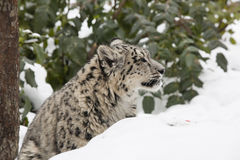 Profile Snow Leopard Cub in Snow and Trees Stock Images