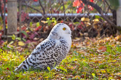 Profile of the Snowy Owl Royalty Free Stock Photos