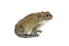 Profile of a Sonoran Desert Toad Stock Image
