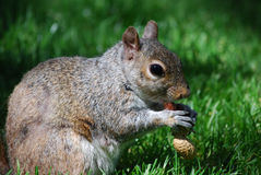 Profile of a Squirrel Eating a Peanut Stock Image