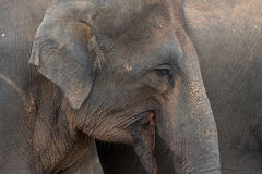 Profile of Sri Lankan elephant Royalty Free Stock Photo
