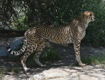 Profile of a Standing Cheetah on a flat Rock stock photography