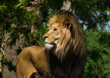 Profile of standing male lion. Profile portrait of male lion standing outdoors in sunshine Royalty Free Stock Image