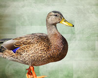 Profile of a standing Mallard Duck female isolated against a green textured background Stock Image