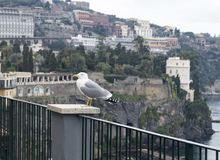 Seagull at sorrento. Profile of a standing seagull with sea and shore background royalty free stock image